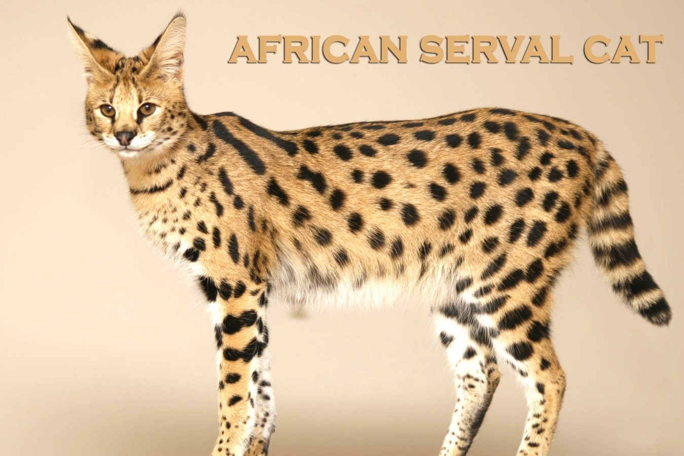 15 Things You Need to Know If You Want to Own a Serval Cat. #14 Might Change Your Mind