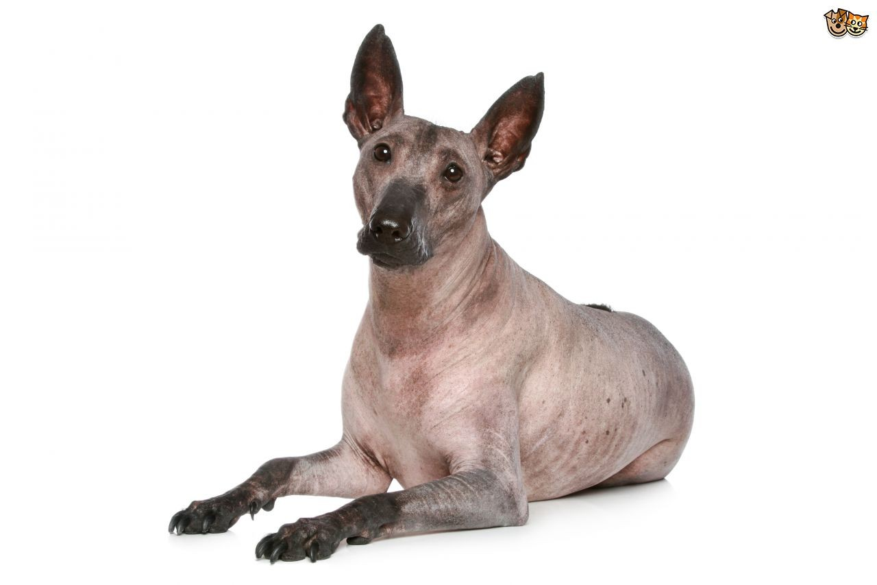 Hairless Dog