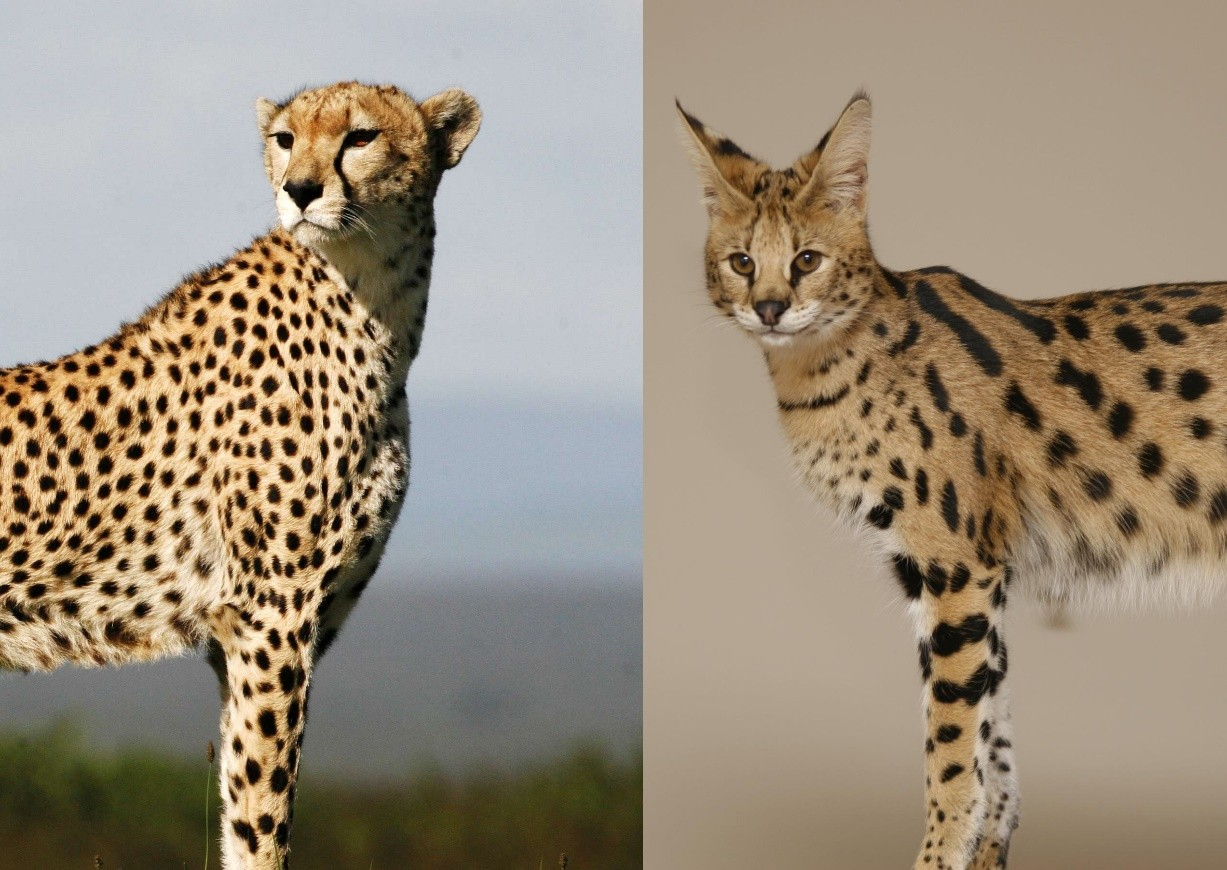 They are NOT cheetahs