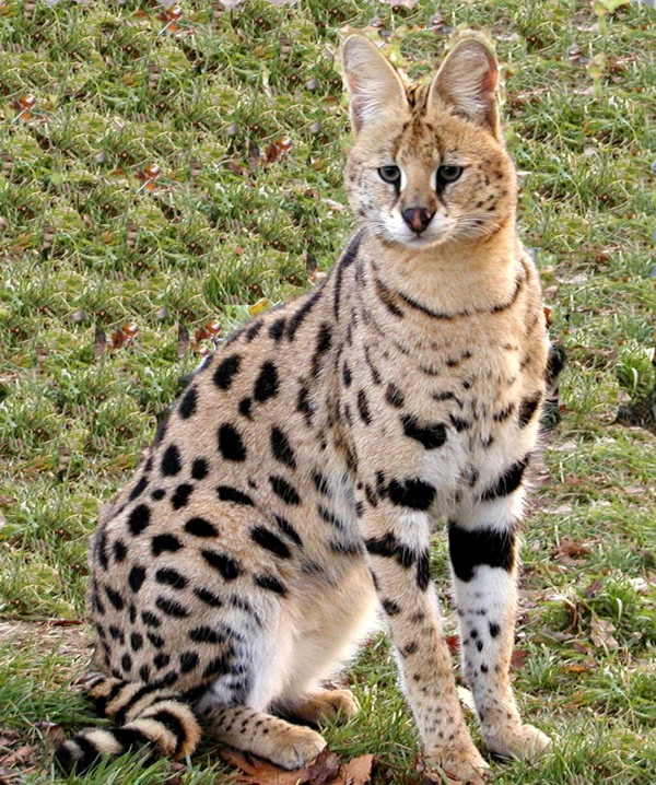 You can't just own an African serval on a whim